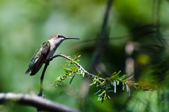 Hummingbird Perched on an Evergreen Branch Stock Photography