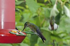 Hummingbird perched on a feeder Royalty Free Stock Photography