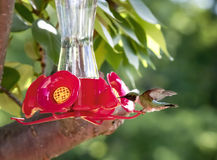 Hummingbird Perched on Feeder Royalty Free Stock Photo
