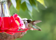 Hummingbird Perched on Feeder Royalty Free Stock Photography