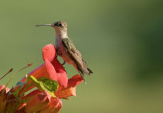 Hummingbird perched on a flower Royalty Free Stock Photography