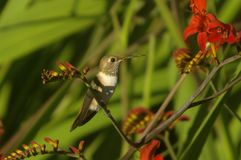 Hummingbird perched Royalty Free Stock Photos