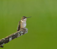 Hummingbird perched Royalty Free Stock Images
