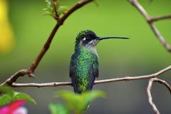 Hummingbird Perched på en förgrena sig Royaltyfri Fotografi
