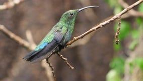 Hummingbird Perched på en förgrena sig arkivfilmer