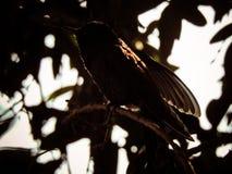 Silhouette of the hummingbird Royalty Free Stock Photos
