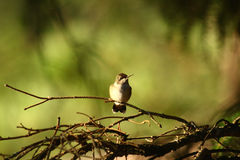 Hummingbird perched in a pine tree Royalty Free Stock Photos