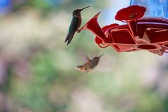 Hummingbird Perched on Red Feeder. A hummingbird perched on the edge of a red feeder with another bird flying up in the background Stock Photography