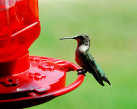 Hummingbird Perched on red Feeder. Hummingbirds are pollinators & will eat sugared-water from feeders royalty free stock photo