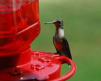 Hummingbird Perched on rim of Feeder. Hummingbirds are pollinators & will eat sugared-water from feeders royalty free stock photography
