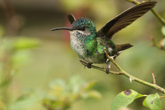 Hummingbird perched in a rose branch taking off royalty free stock photos