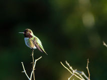 Hummingbird perches atop small branch Stock Image