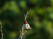Hummingbird perches atop small branch Stock Photo