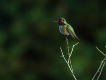 Hummingbird perches atop small branch Stock Photography
