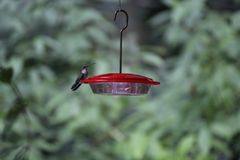 Hummingbird Lands to Feed From Feeder Stock Image