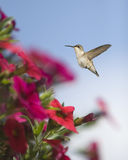 Hummingbird And Petunias Stock Images