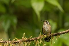 Speckled hummingbird. This is a photograph of a speckled hummingbird taken in Ecuador Royalty Free Stock Photo