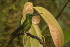 Green crowned brilliant. This is a photograph of a green crowned brilliant hummingbird taken in Ecuador Stock Images