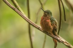 Chestnut breasted coronet. This is a photograph of a chestnut breasted coronet hummingbird taken in Ecuador royalty free stock images