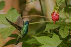 Sparkling violetear in flight. This is a photograph of a sparkling violetear hummingbird taken in Ecuador stock image