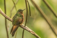 Chestnut breasted coronet. This is a photograph of a chestnut breasted coronet hummingbird taken in Ecuador stock photo
