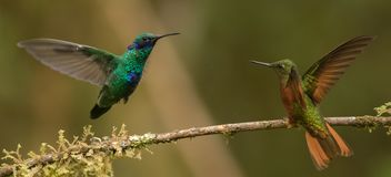 Chestnut breasted coronet versus Sparkling violetear. This is a photograph of a chestnut breasted coronet fighting a sparkling violetear, taken in Ecuador royalty free stock photography