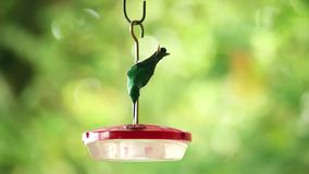 Hummingbird pić zbiory