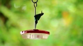 Hummingbird pić zdjęcie wideo