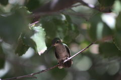 HUMMINGBIRD. This is a picture of a humming bird taken at the Arizona Sonora Desert Museum in Tucson, Arizona Royalty Free Stock Photos