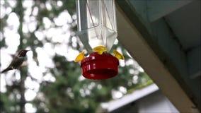Hummingbird Pije od dozownika zbiory wideo