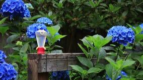 Hummingbird pije od dozownika przed hortensjami zbiory