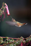 Hummingbird and pink flowers Royalty Free Stock Photos