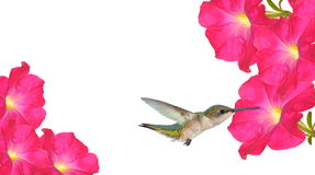 Hummingbird at pink petunias Stock Image