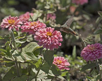 Hummingbird Pink Zinnias Royalty Free Stock Photos