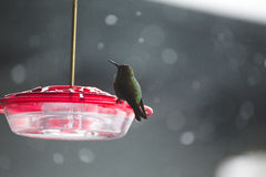 Hummingbird on plastic bird feeder with red top Royalty Free Stock Photo
