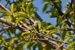 Hummingbird in Plum Tree Royalty Free Stock Photos