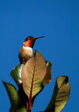 Hummingbird Poised and Blending In Royalty Free Stock Photos