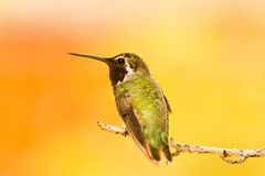 Hummingbird portrait Royalty Free Stock Photography