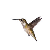 Hummingbird poses for a picture. Hummingbird stopped in motion on a white background stock photo