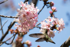 Hummingbird preparing to dock. Annas Hummingbird approaching cherry blossom Stock Images