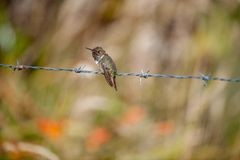 The hummingbird on prickly a prowolf. Stock Photo