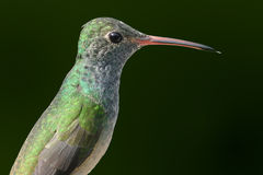 Hummingbird profile. Buff-bellied hummingbird in profile Royalty Free Stock Photography