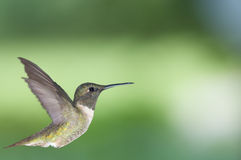 Hummingbird in profile 2 Stock Photography