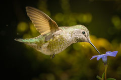 Hummingbird profile with blue flower Royalty Free Stock Images