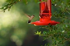 Hummingbird przy dozownikiem Fotografia Royalty Free