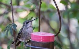 Hummingbird przy dozownikiem Zdjęcie Royalty Free