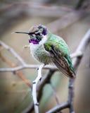 Hummingbird przy odpoczynkiem Obrazy Royalty Free