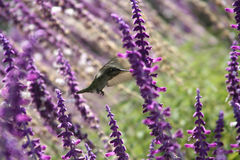 Hummingbird and purple flowers. Hummingbird hovering in field of colorful purple flowers Royalty Free Stock Photo