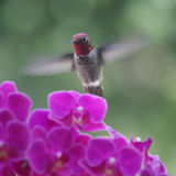 Hummingbird in purple orchids Stock Photography