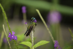 Hummingbird-Purple-throated Mountain Gem Stock Image